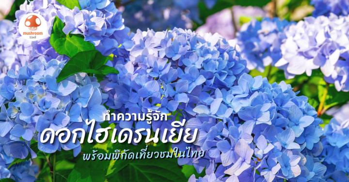 รู้จัก ไฮเดรนเยียสีฟ้า ดอกไม้เปลี่ยนสีได้ พร้อมพิกัดเที่ยวชมความสวยในไทย